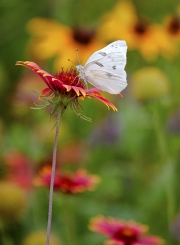 Cabbage White & Indian Blankets