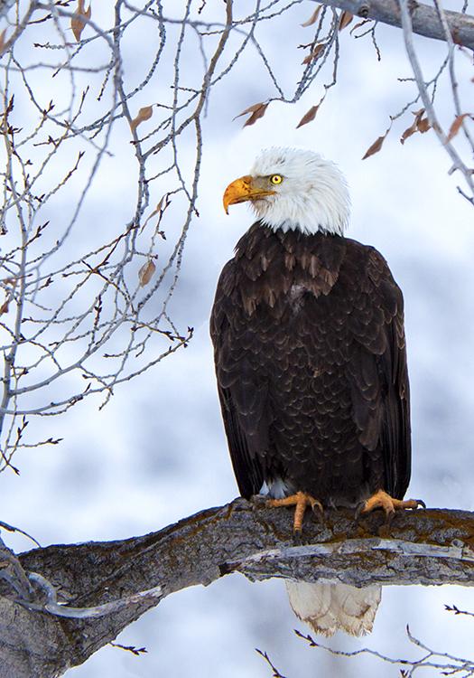 Teton Eagle